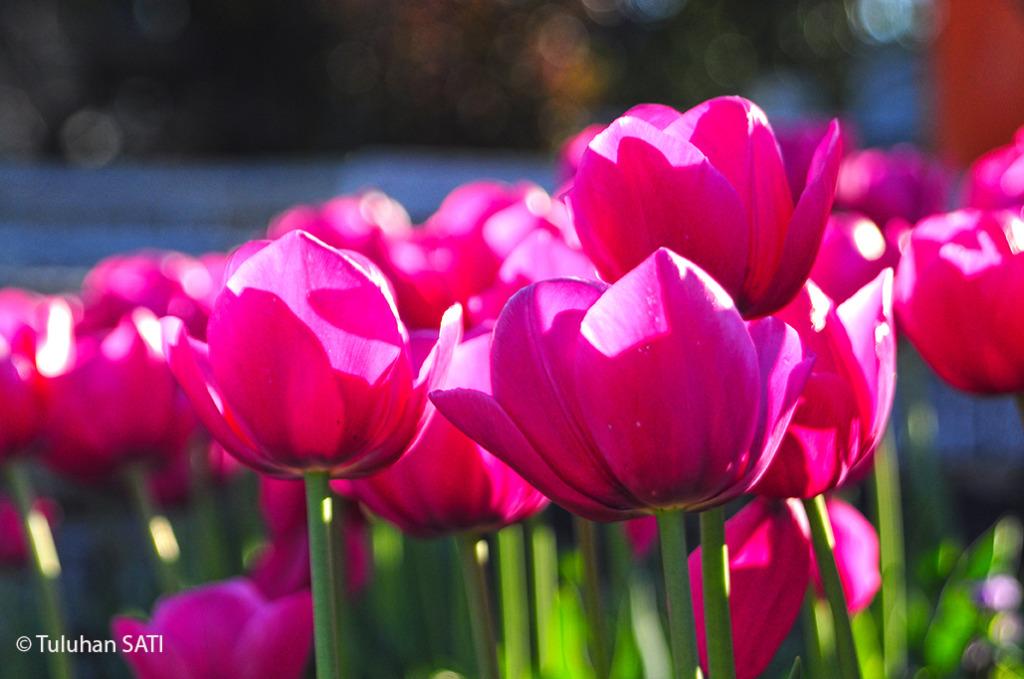 Фестивали тюльпанов в Стамбуле