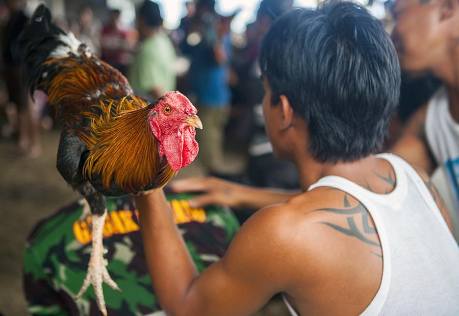 Петушиные бои на Бали